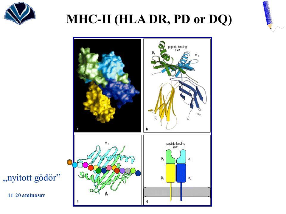 """MHC-II (HLA DR, PD or DQ) """"nyitott gödör"""" 11-20 aminosav"""