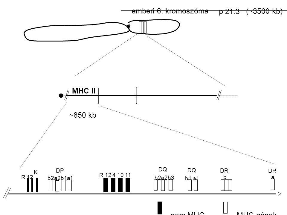 emberi 6. kromoszóma p 21.3 (~3500 kb) R12 K DP b2a2b1a1 R 12 4 10 11 DQ b2a2b3 DQ b1 a1 DR b a ~850 kb MHC II nem MHC-MHC gének