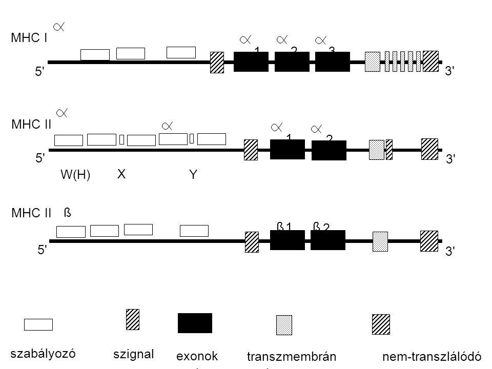 MHC I MHC II 5' 3' W(H) X Y 123 1 2 1 2 ßß ß szabályozó szignal exonok transzmembránnem-transzlálódó s z a k a s z o k