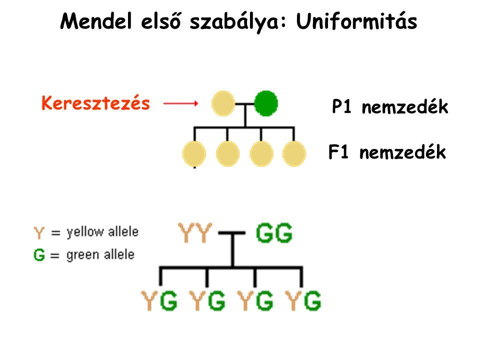 Mendel első szabálya: Uniformitás P1 nemzedék F1 nemzedék Keresztezés