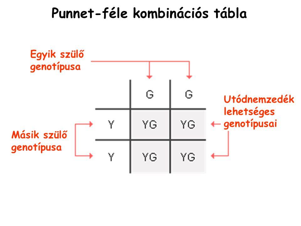 Punnet-féle kombinációs tábla Egyik szülő genotípusa Másik szülő genotípusa Utódnemzedék lehetséges genotípusai