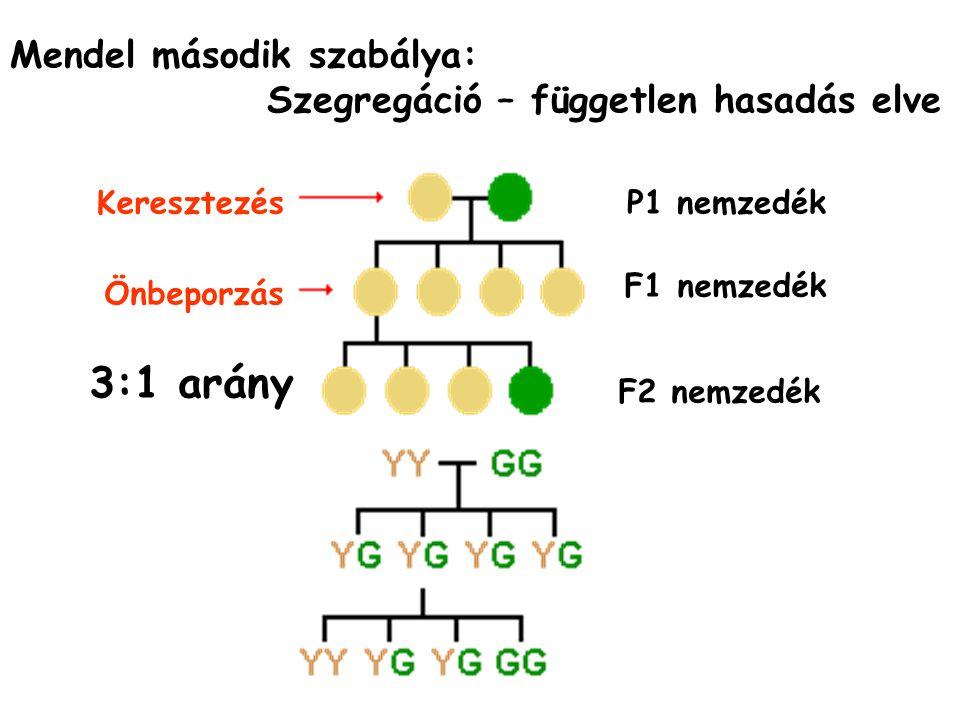Mendel második szabálya: Szegregáció – független hasadás elve P1 nemzedék F1 nemzedék F2 nemzedék Keresztezés Önbeporzás 3:1 arány