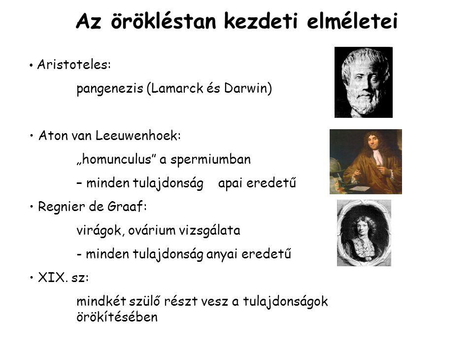 """Az örökléstan kezdeti elméletei Aristoteles: pangenezis (Lamarck és Darwin) Aton van Leeuwenhoek: """"homunculus a spermiumban – minden tulajdonság apai eredetű Regnier de Graaf: virágok, ovárium vizsgálata - minden tulajdonság anyai eredetű XIX."""