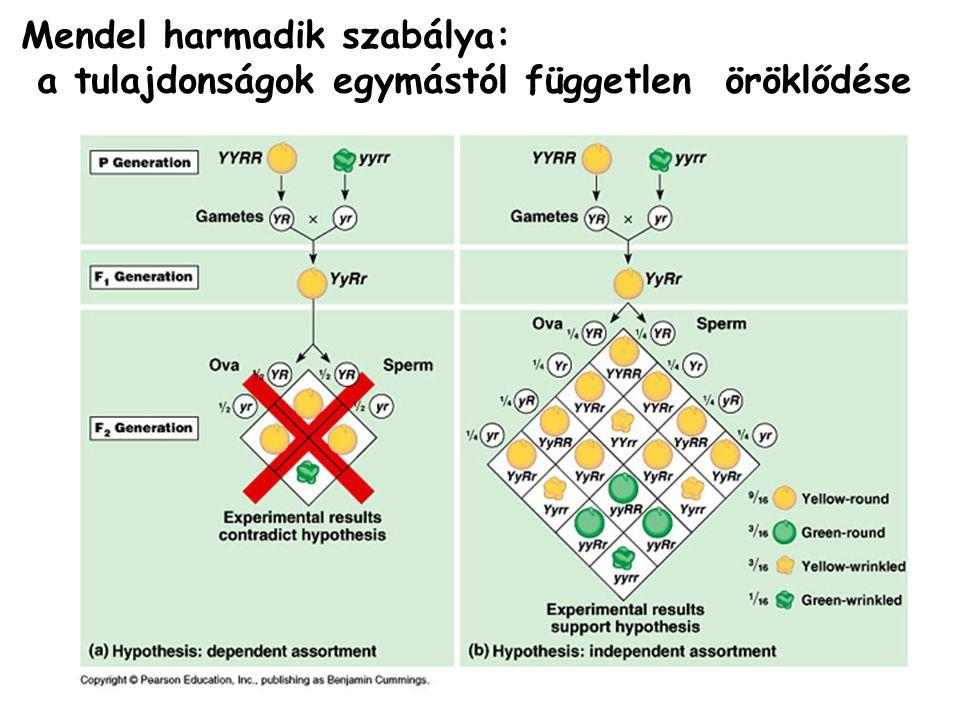 Mendel harmadik szabálya: a tulajdonságok egymástól független öröklődése