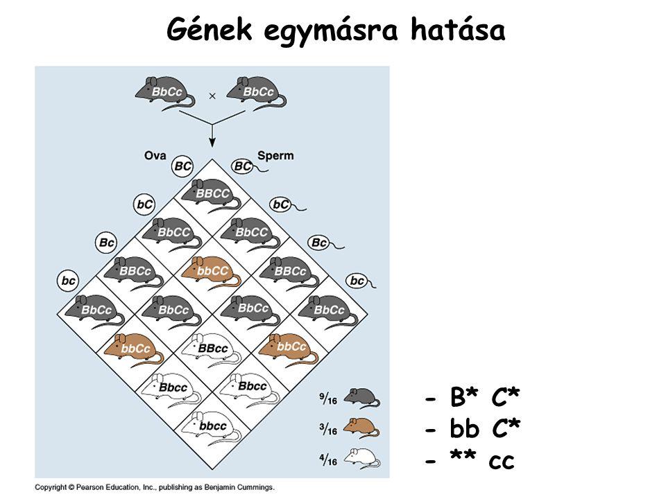 - B* C* - bb C* - ** cc Gének egymásra hatása