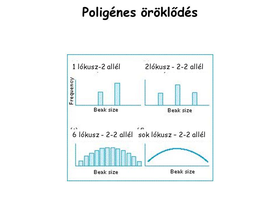 Poligénes öröklődés 1 lókusz-2 allél 6 lókusz - 2-2 allélsok lókusz – 2-2 allél 2lókusz - 2-2 allél