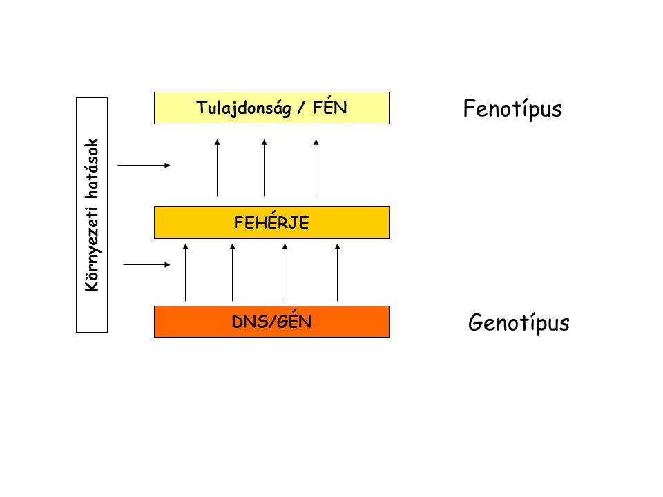 DNS/GÉN FEHÉRJE Genotípus Fenotípus Tulajdonság / FÉN Környezeti hatások