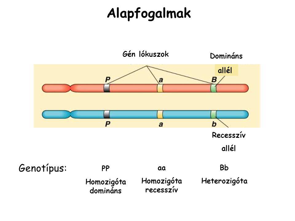 Alapfogalmak Gén lókuszok allél Domináns Recesszív allél PP Homozigóta domináns Bb Heterozigóta aa Homozigóta recesszív Genotípus: