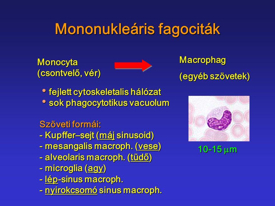 Mononukleáris fagociták Monocyta (csontvelő, vér) Macrophag (egyéb szövetek) 10-15  m fejlett cytoskeletalis hálózat fejlett cytoskeletalis hálózat s