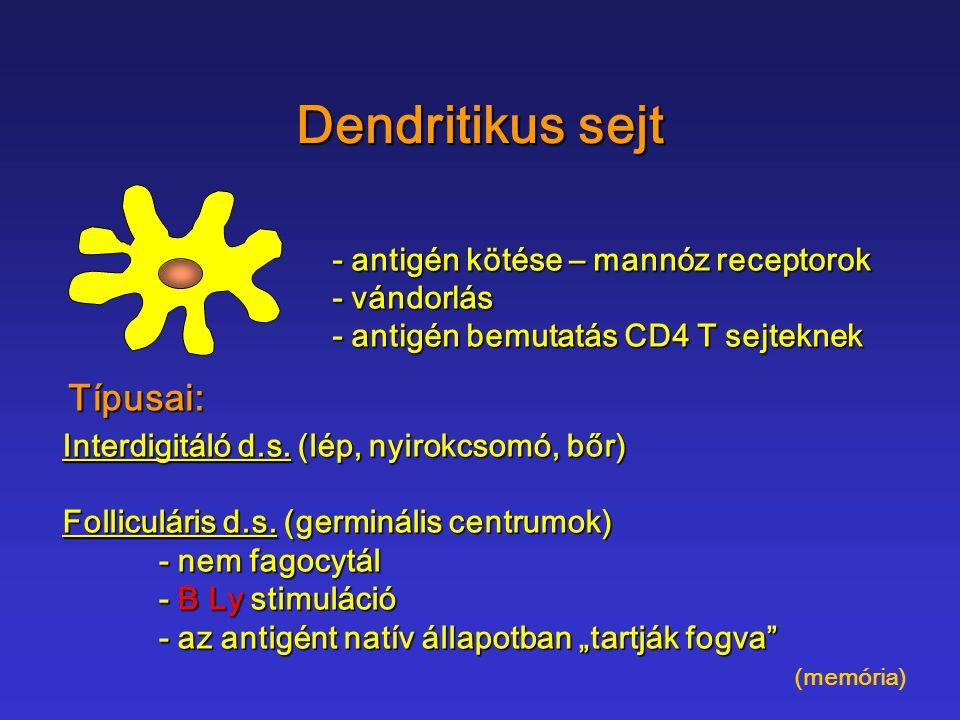 Dendritikus sejt - antigén kötése – mannóz receptorok - vándorlás - antigén bemutatás CD4 T sejteknek Típusai: Interdigitáló d.s. (lép, nyirokcsomó, b