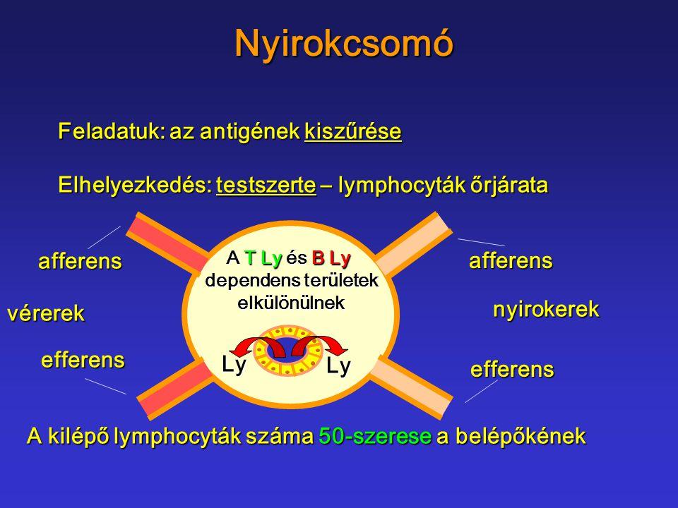 Nyirokcsomó Feladatuk: az antigének kiszűrése Elhelyezkedés: testszerte – lymphocyták őrjárata A T Ly és B Ly dependens területek dependens területeke