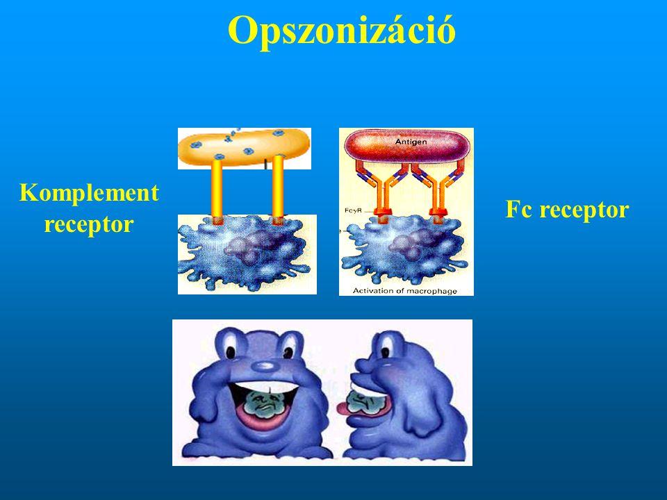 Komplement receptor Fc receptor Opszonizáció