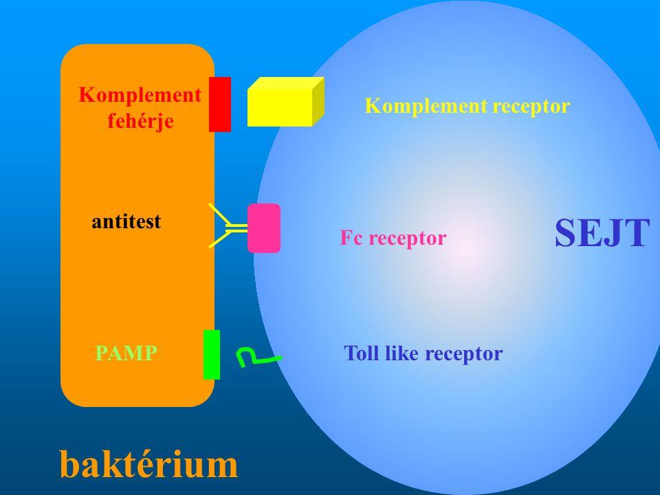 Komplement receptor Komplement fehérje antitest Fc receptor PAMPToll like receptor SEJT baktérium