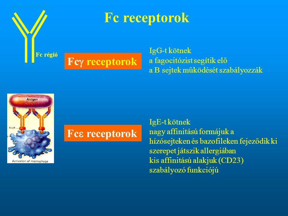Fc receptorok IgG-t kötnek a fagocitózist segítik elő a B sejtek működését szabályozzák IgE-t kötnek nagy affinitású formájuk a hízósejteken és bazofi