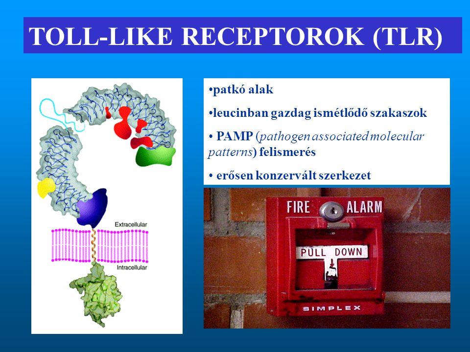 TOLL-LIKE RECEPTOROK (TLR) patkó alak leucinban gazdag ismétlődő szakaszok PAMP (pathogen associated molecular patterns) felismerés erősen konzervált