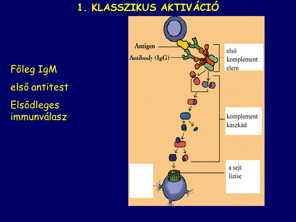 klasszikusalternatívlektin Az aktiválódásnak három lehetséges útját ismerjük C3 konvertáz