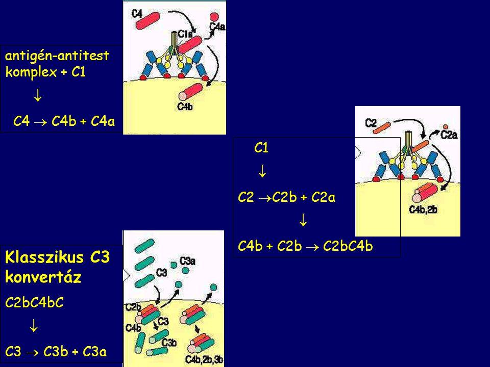 KLASSZIKUS AKTIVÁCIÓS ÚT Antigén felszín C1q + C1r,C1s