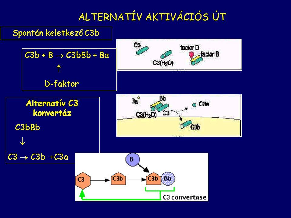 antigén-antitest komplex + C1  C4  C4b + C4a C1  C2  C2b + C2a  C4b + C2b  C2bC4b Klasszikus C3 konvertáz C2bC4bC  C3  C3b + C3a