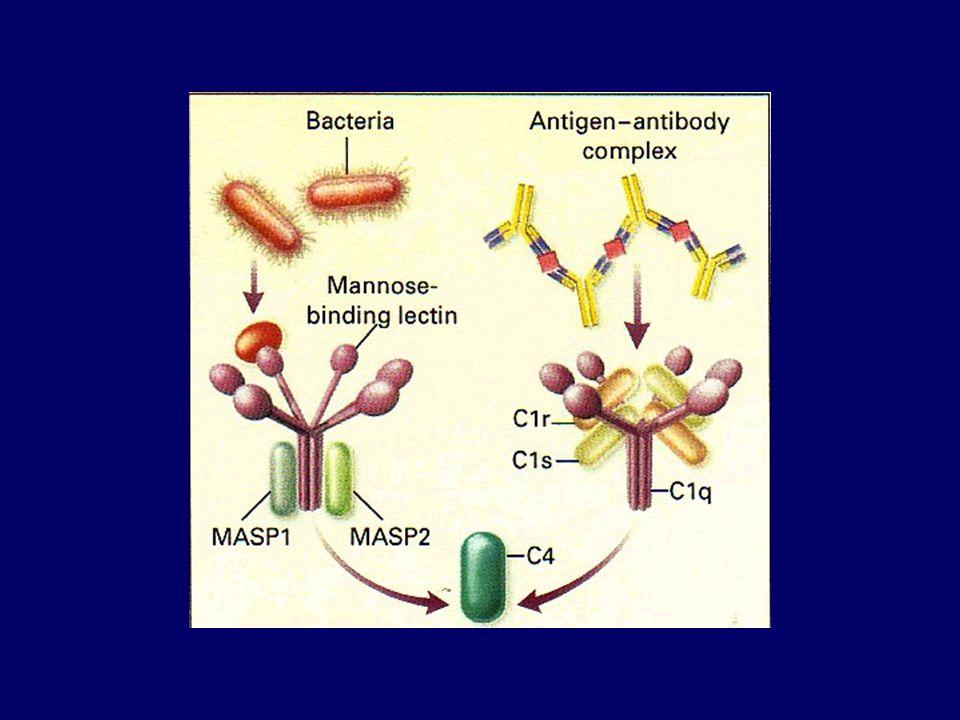 LEKTIN ÚT Mannóz kötő lektin (MBL) a patogén mannóztartalmú részeihez köt MBL+ MASP  C2, C4  C2bC4b  C3  C3b