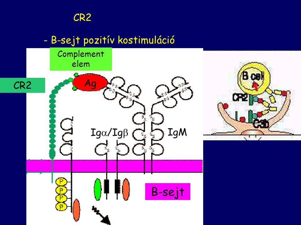 KOMPLEMENT RECEPTOROK - fagocitózis - immunkomplex szállítása CR1