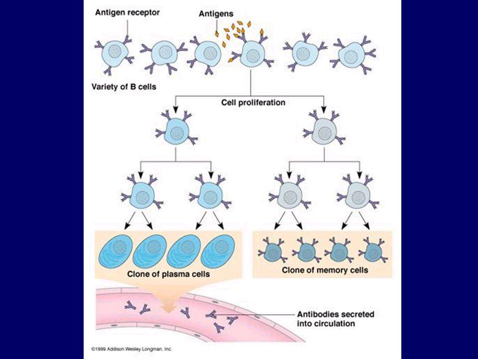 A KOMPLEMENT RENDSZER az immunválasz végrehajtásában komplementál, humorális immunválaszt egészíti ki