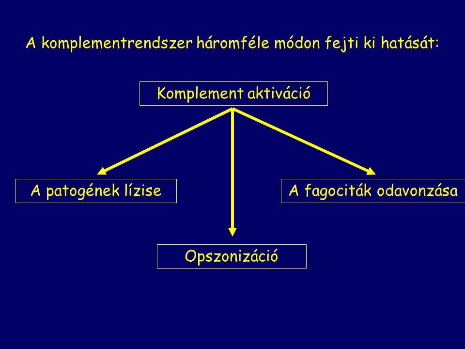 A komplementrendszer háromféle módon fejti ki hatását: Komplement aktiváció Opszonizáció A patogének líziseA fagociták odavonzása