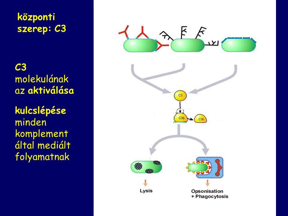 A rendszer a plazmában szolubilisan előforduló fehérjék összessége Fő tagjai proenzimek: egymást láncreakciószerűen aktiválják Hatásuk felerősödik: eg