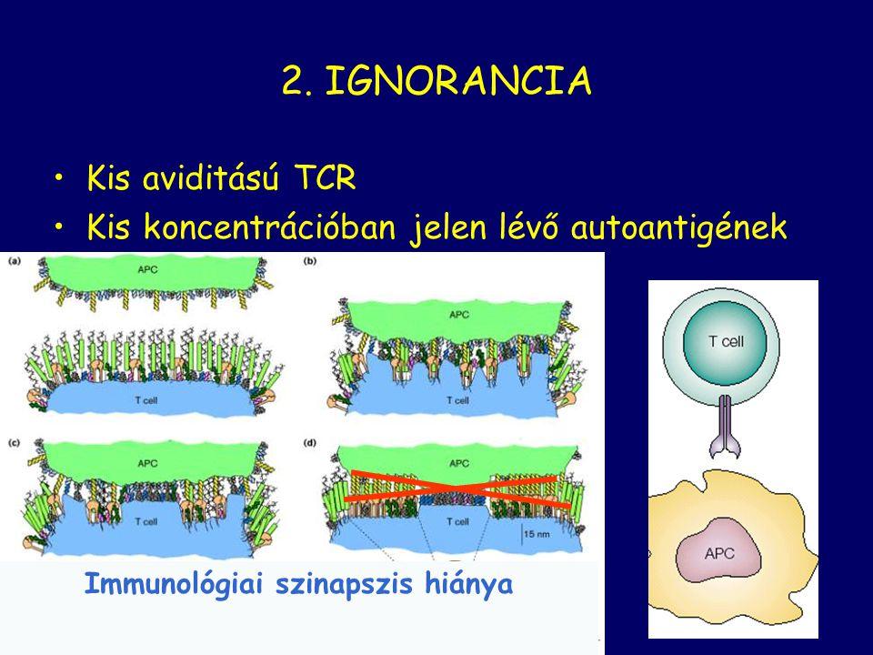 2. IGNORANCIA Kis aviditású TCR Kis koncentrációban jelen lévő autoantigének Immunológiai szinapszis hiánya