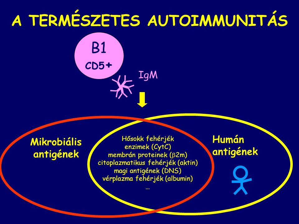 A TERMÉSZETES AUTOIMMUNITÁS Hősokk fehérjék enzimek (CytC) membrán proteinek (  2m) citoplazmatikus fehérjék (aktin) magi antigének (DNS) vérplazma fehérjék (albumin) … Mikrobiális antigének Humán antigének B1 CD5 + IgM