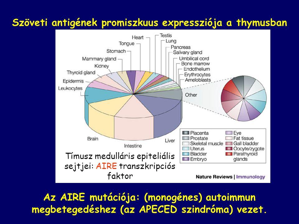 Szöveti antigének promiszkuus expressziója a thymusban Tímusz medulláris epiteliális sejtjei: AIRE transzkripciós faktor Az AIRE mutációja: (monogénes) autoimmun megbetegedéshez (az APECED szindróma) vezet.