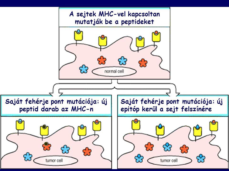 A sejtek MHC-vel kapcsoltan mutatják be a peptideket Saját fehérje pont mutációja: új peptid darab az MHC-n Saját fehérje pont mutációja: új epitóp kerül a sejt felszínére
