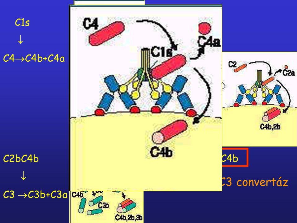 Patogén felszín C1q + C1r, C1s Patogén felszín