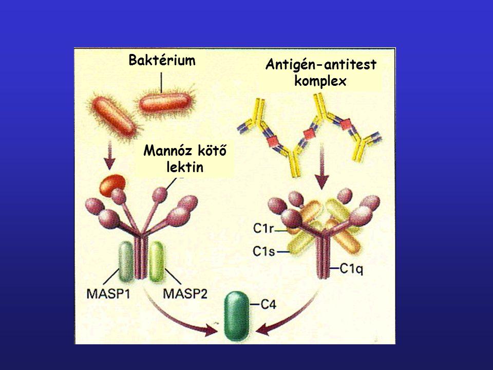 3.LEKTIN KÖZVETÍTETT AKTIVÁCIÓS ÚT (C1q,r,s helyett MBL +MASP) mannóz kötő lektin (MBL) a patogén sejtfelszíni mannóz tartalmú fehérjéihez köt MBL+ MASP  C2, C4  C2bC4b (MBL- associated- serine- protease) Klasszikus C3 konvertáz  C3  C3b MBL C2b MBL C2b