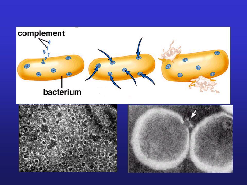 MAC lízis patogén