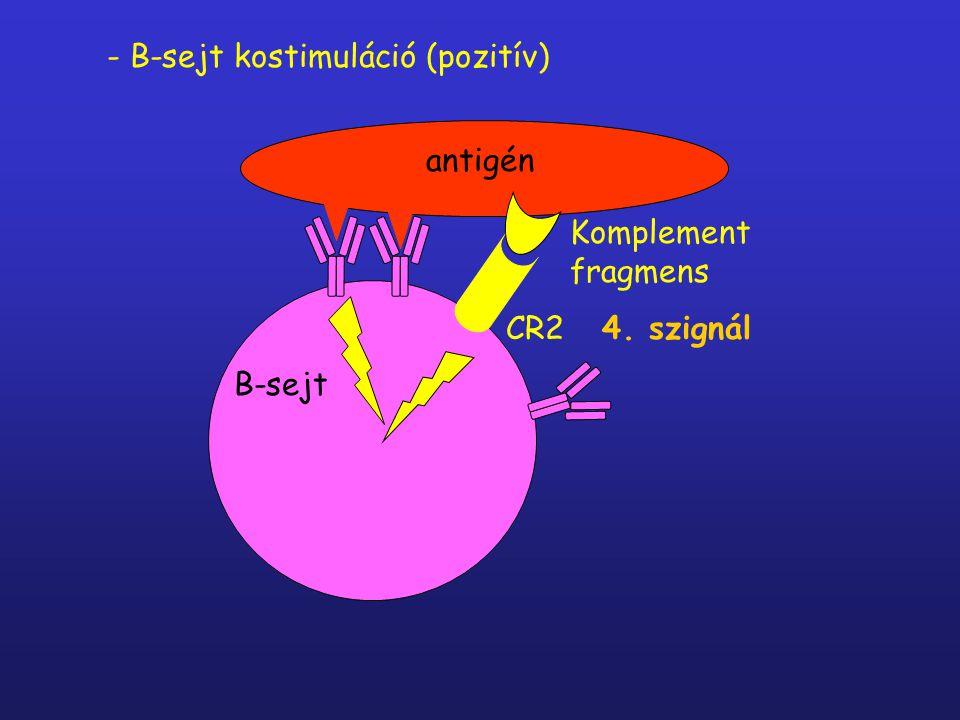 KOMPLEMENT RECEPTOROK (CR) - fagocitózis - immunkomplexek szállítása CR1