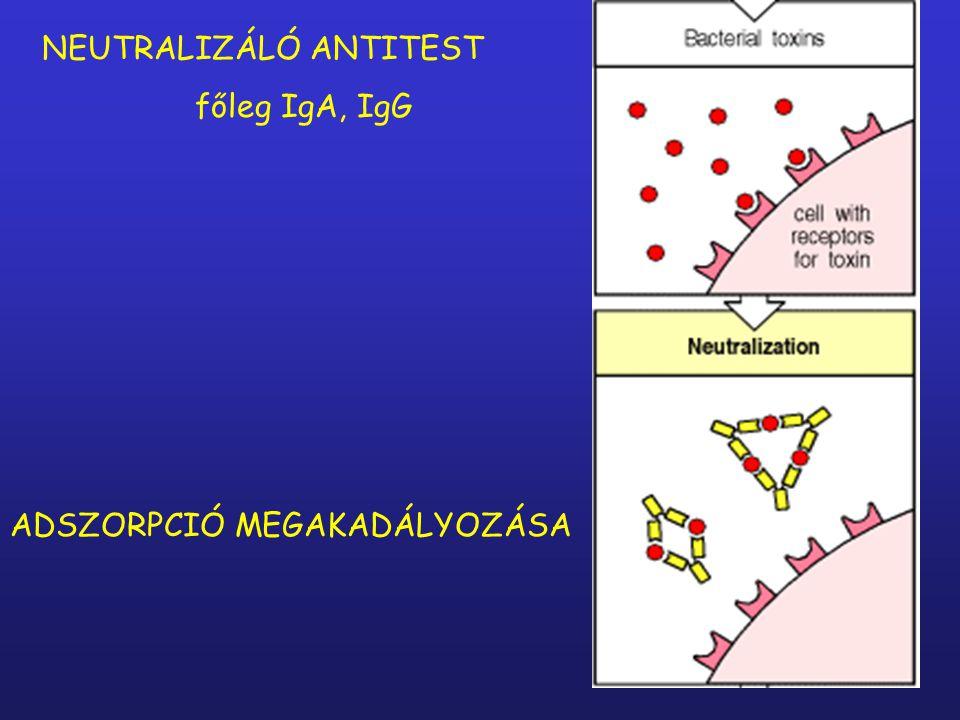 Az antitestek specifikusan az antigénekhez kötődnek Antigén + antitest = Immunkomplex semlegesítésopszonizálás komplement aktiválás semlegesítésopszonizálássemlegesítés