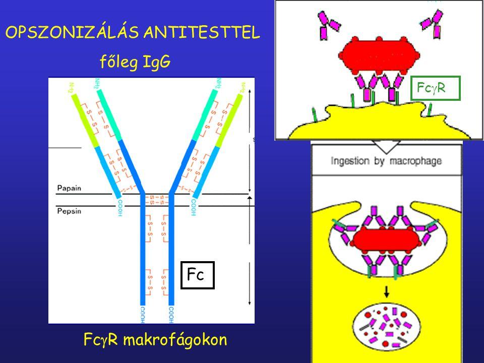 B-sejt antigén Komplement fragmens CR24. szignál - B-sejt kostimuláció (pozitív)