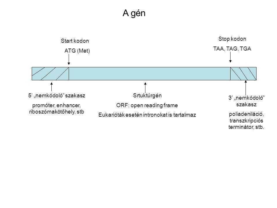 """Start kodon ATG (Met) Stop kodon TAA, TAG, TGA Srtuktúrgén ORF: open reading frame Eukarióták esetén intronokat is tartalmaz 5' """"nemkódoló"""" szakasz pr"""