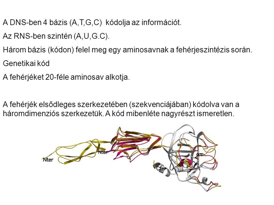 A DNS-ben 4 bázis (A,T,G,C) kódolja az információt. Az RNS-ben szintén (A,U,G.C). Három bázis (kódon) felel meg egy aminosavnak a fehérjeszintézis sor