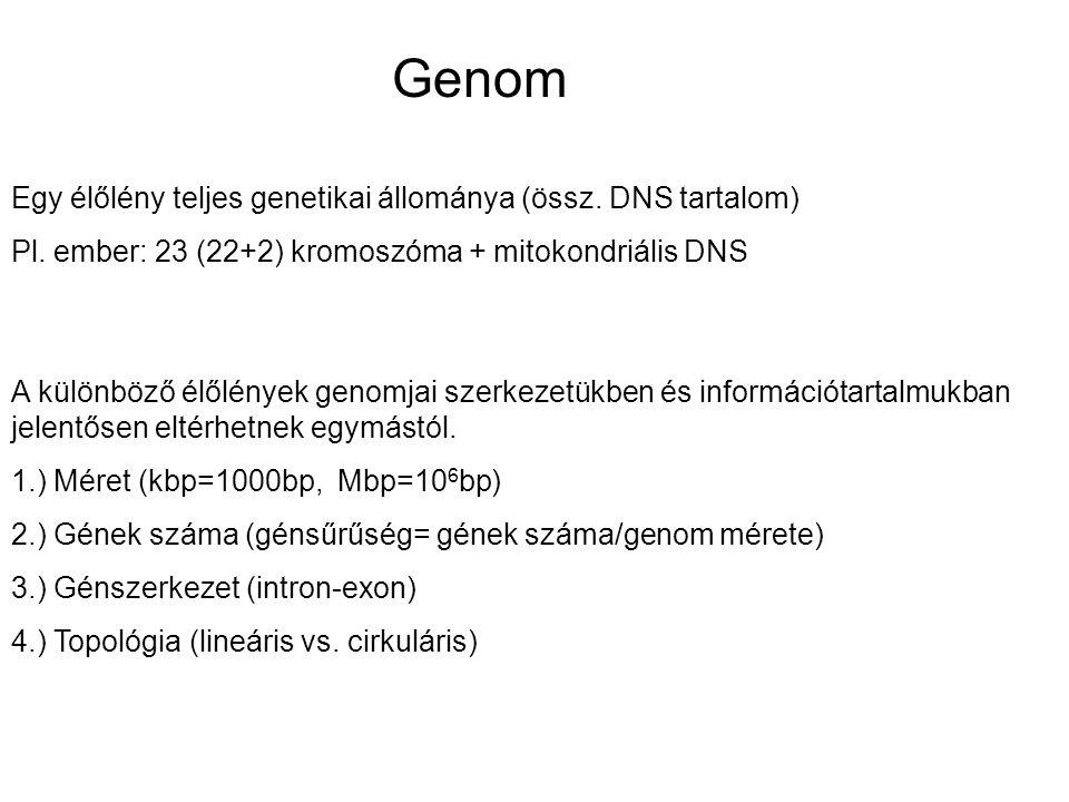 Genom Egy élőlény teljes genetikai állománya (össz. DNS tartalom) Pl. ember: 23 (22+2) kromoszóma + mitokondriális DNS A különböző élőlények genomjai