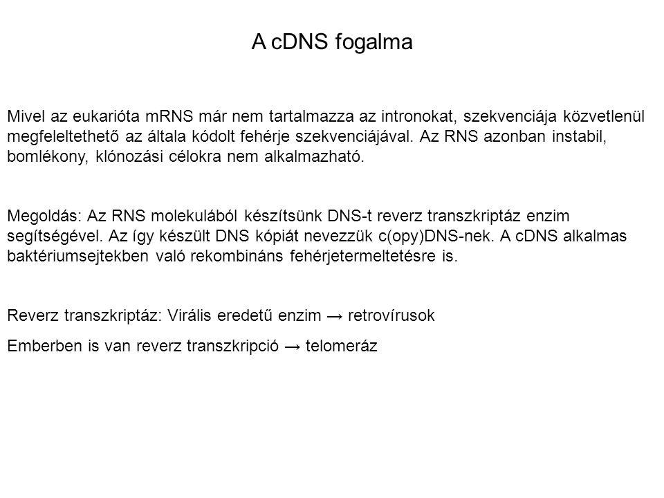 A cDNS fogalma Mivel az eukarióta mRNS már nem tartalmazza az intronokat, szekvenciája közvetlenül megfeleltethető az általa kódolt fehérje szekvenciá