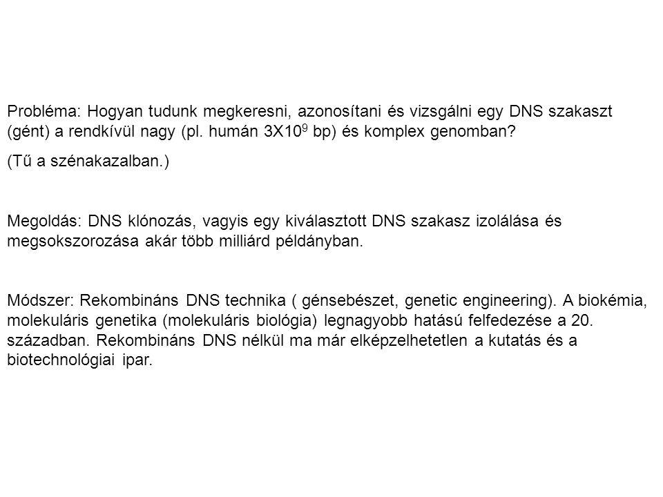 Probléma: Hogyan tudunk megkeresni, azonosítani és vizsgálni egy DNS szakaszt (gént) a rendkívül nagy (pl. humán 3X10 9 bp) és komplex genomban? (Tű a