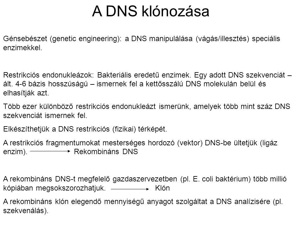 A DNS klónozása Génsebészet (genetic engineering): a DNS manipulálása (vágás/illesztés) speciális enzimekkel. Restrikciós endonukleázok: Bakteriális e