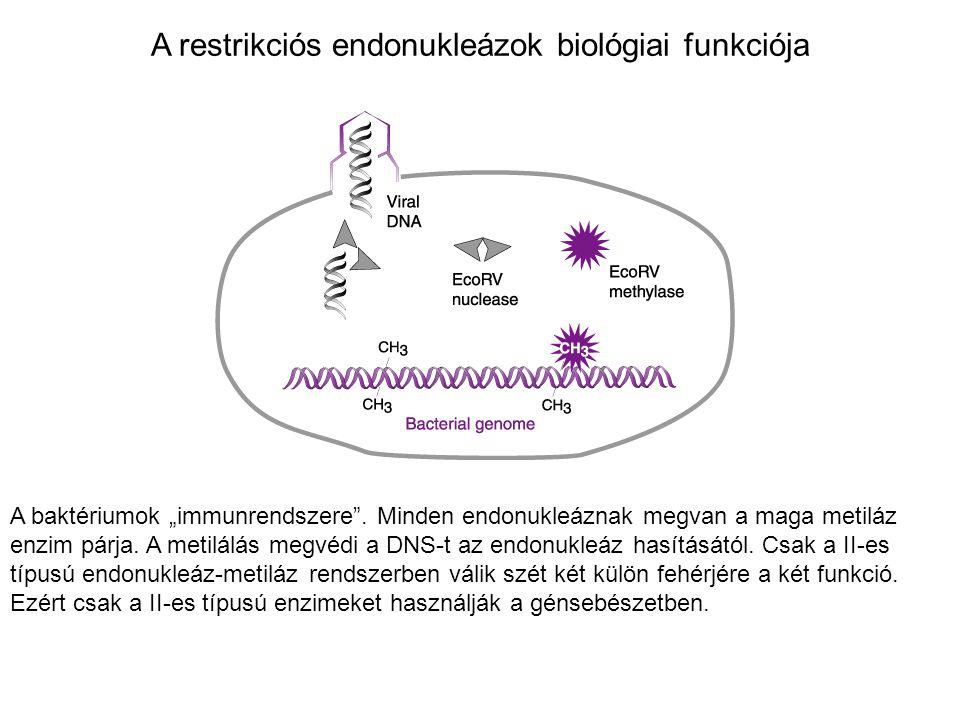 """A restrikciós endonukleázok biológiai funkciója A baktériumok """"immunrendszere"""". Minden endonukleáznak megvan a maga metiláz enzim párja. A metilálás m"""