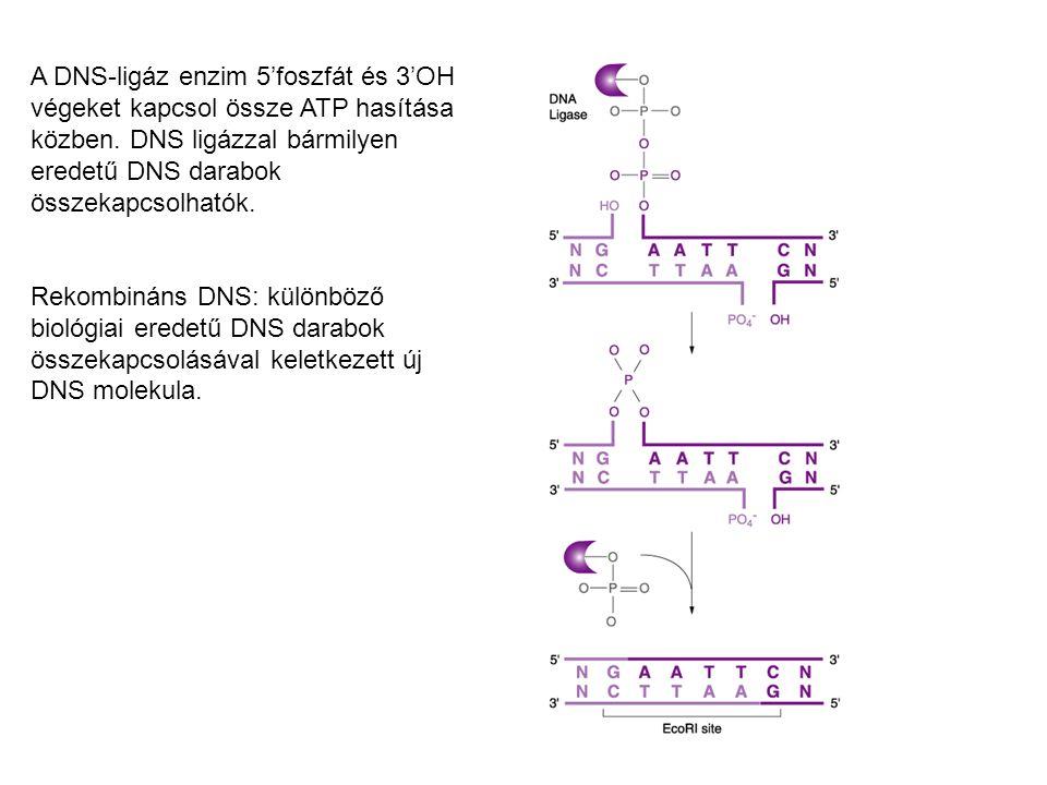 A DNS-ligáz enzim 5'foszfát és 3'OH végeket kapcsol össze ATP hasítása közben. DNS ligázzal bármilyen eredetű DNS darabok összekapcsolhatók. Rekombiná