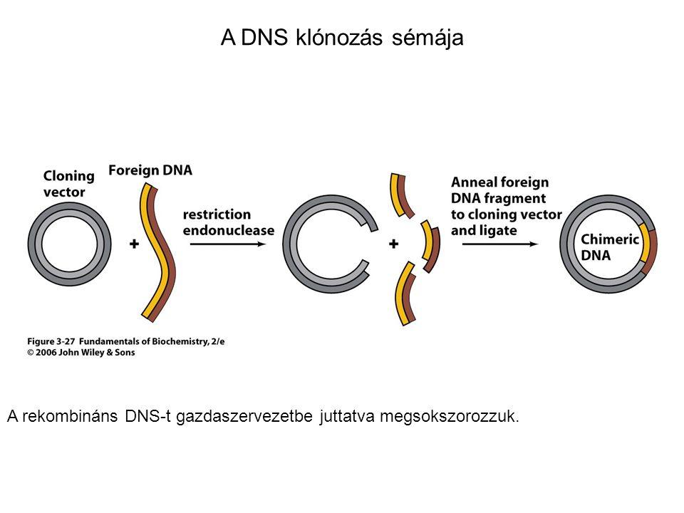A DNS klónozás sémája A rekombináns DNS-t gazdaszervezetbe juttatva megsokszorozzuk.