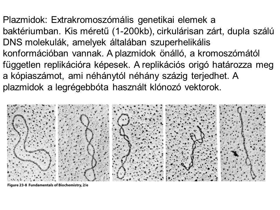 Plazmidok: Extrakromoszómális genetikai elemek a baktériumban. Kis méretű (1-200kb), cirkulárisan zárt, dupla szálú DNS molekulák, amelyek általában s