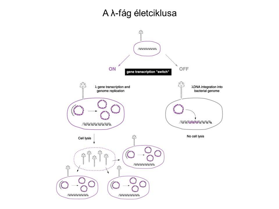 A λ-fág életciklusa