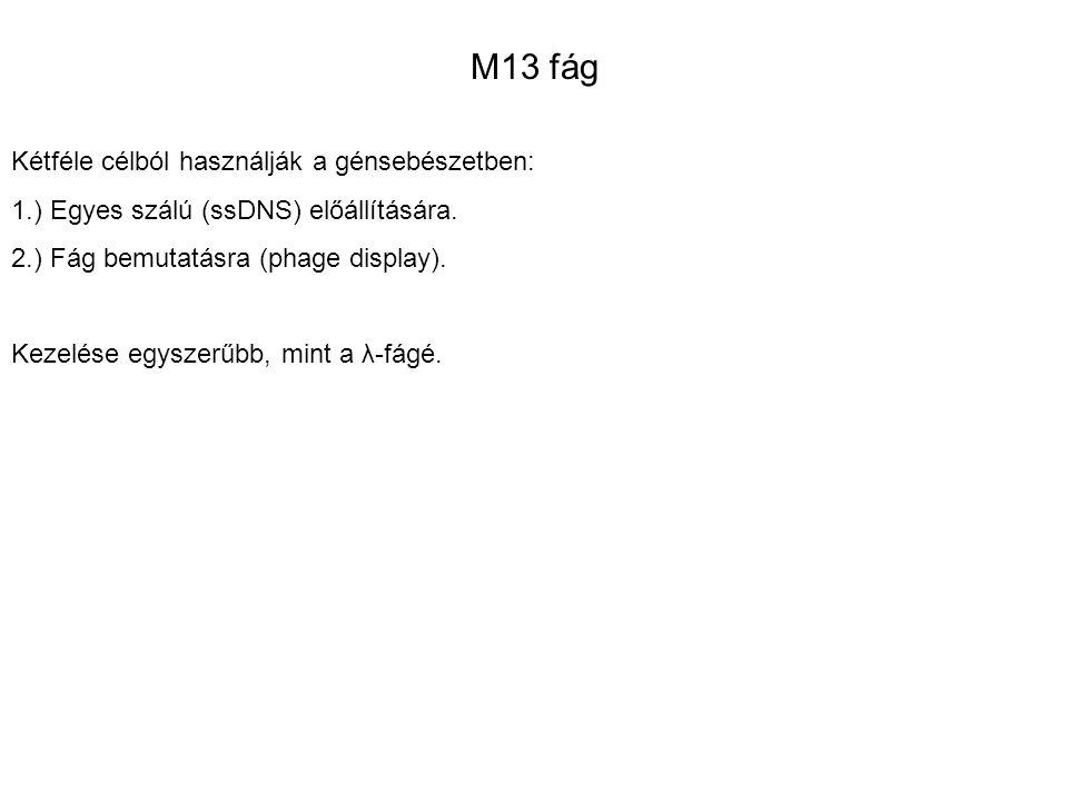 M13 fág Kétféle célból használják a génsebészetben: 1.) Egyes szálú (ssDNS) előállítására. 2.) Fág bemutatásra (phage display). Kezelése egyszerűbb, m