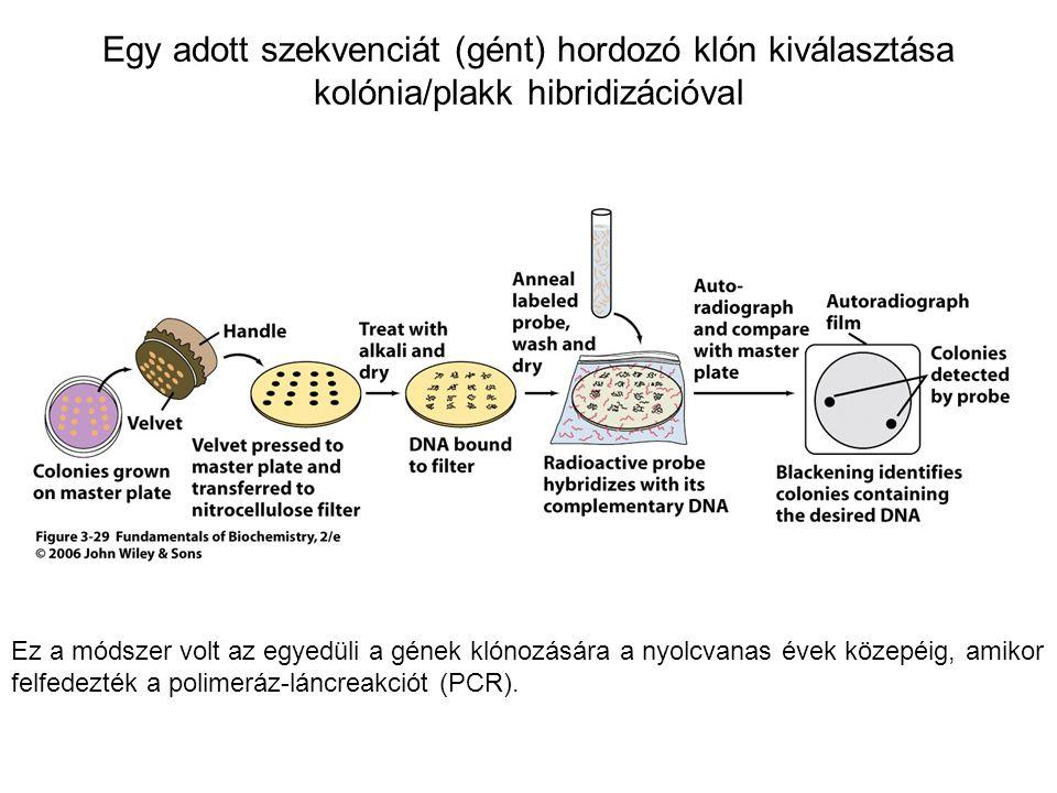 Egy adott szekvenciát (gént) hordozó klón kiválasztása kolónia/plakk hibridizációval Ez a módszer volt az egyedüli a gének klónozására a nyolcvanas év